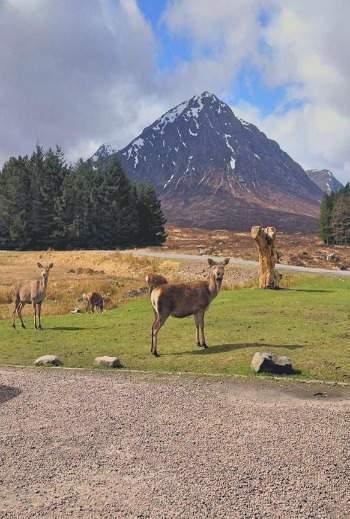 Deer at Kingshouse, Glencoe West Highland Way