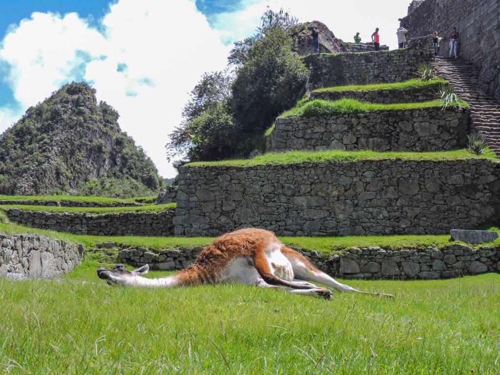 The Lares Trek to Machu Picchu Peru Llamas