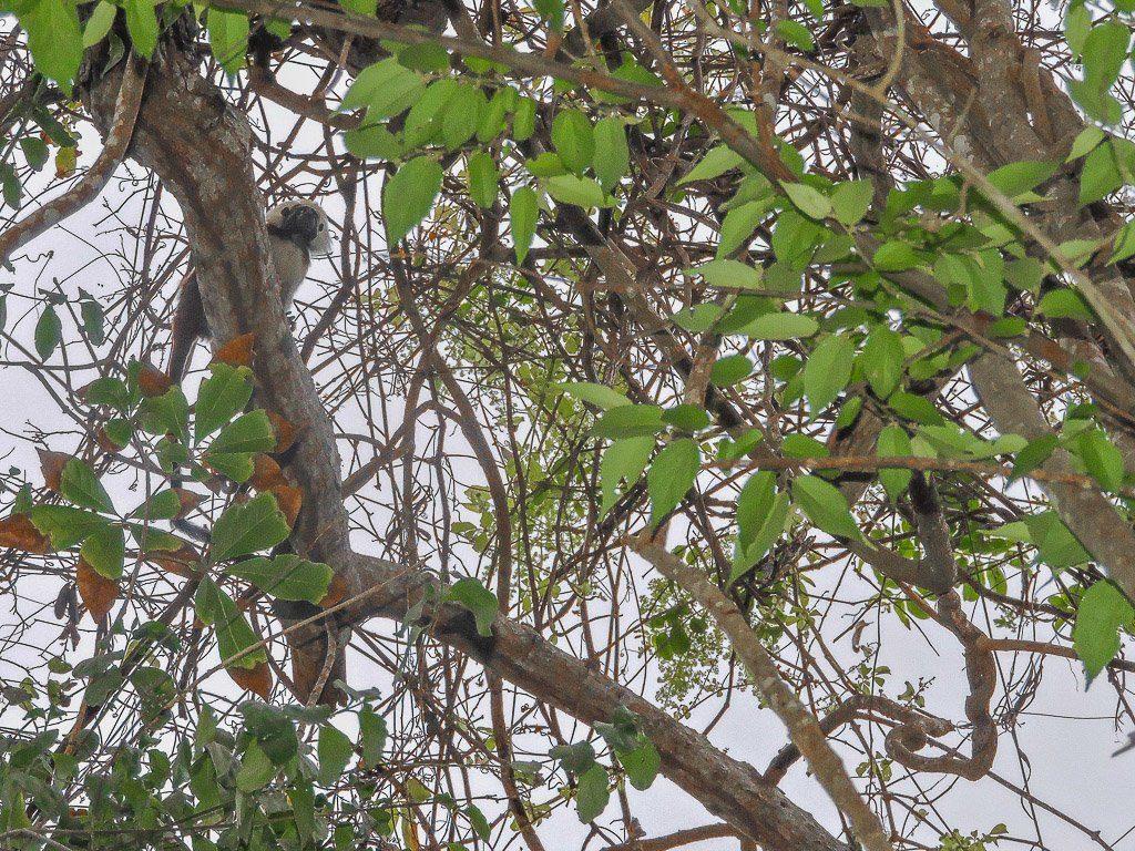 Monkeys I Tayrona National Park I Colombia