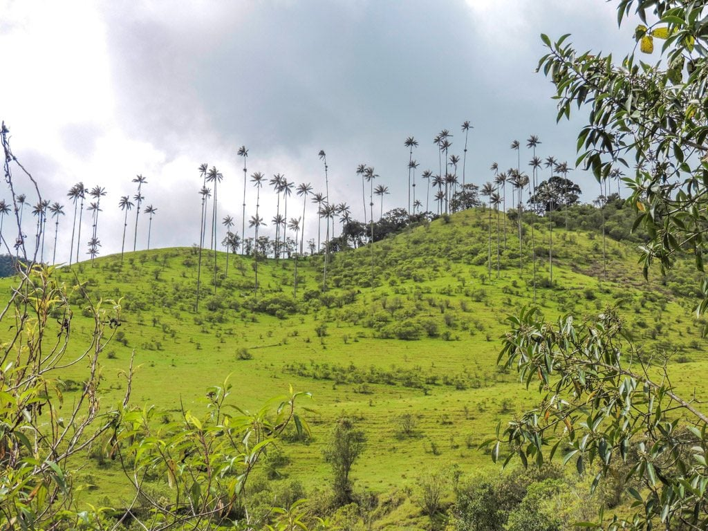 Cocora Valley I 5 Things to See in Salento