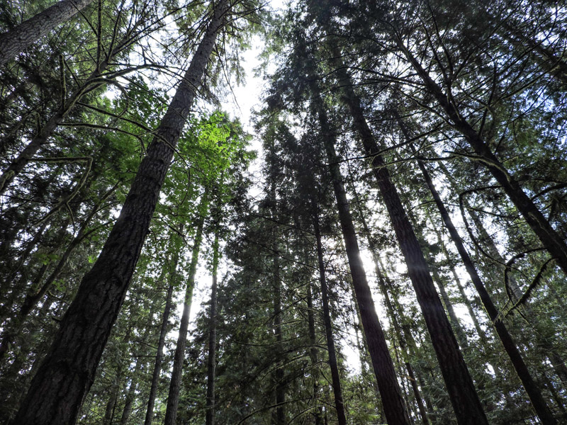 Tall trees at Roberts Creek Provincial Park