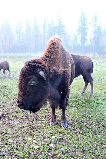 Rocky Mountain Buffalo Ranch West Trek Tours
