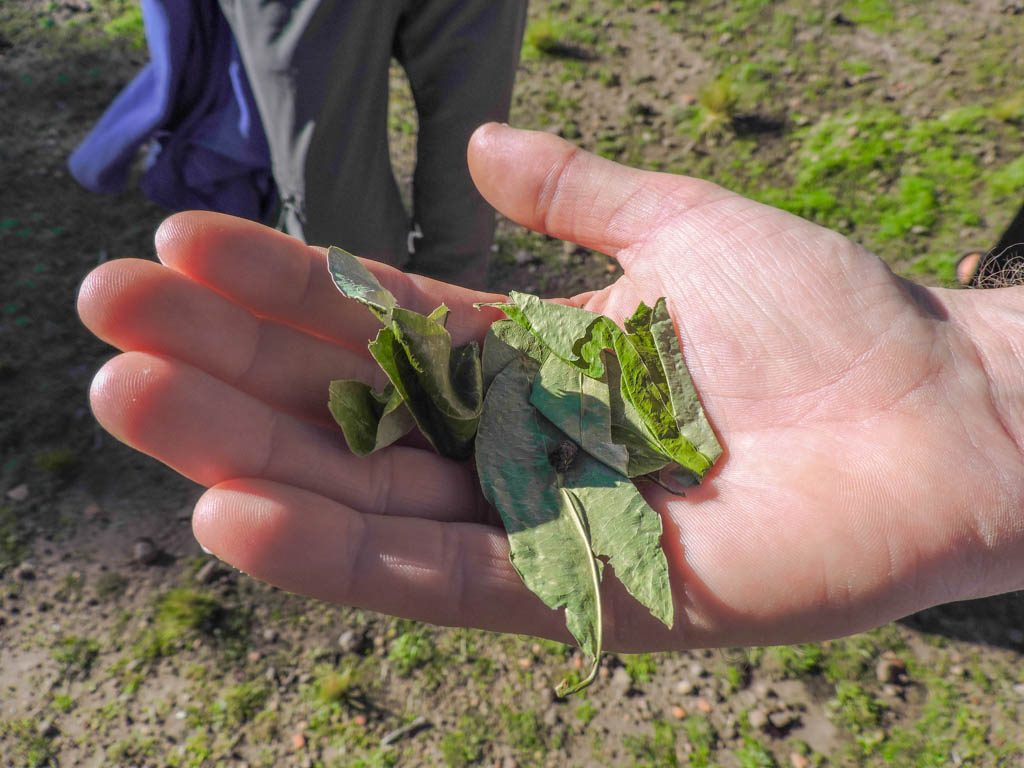Coca Leaves I Three Weeks in Peru Itinerary