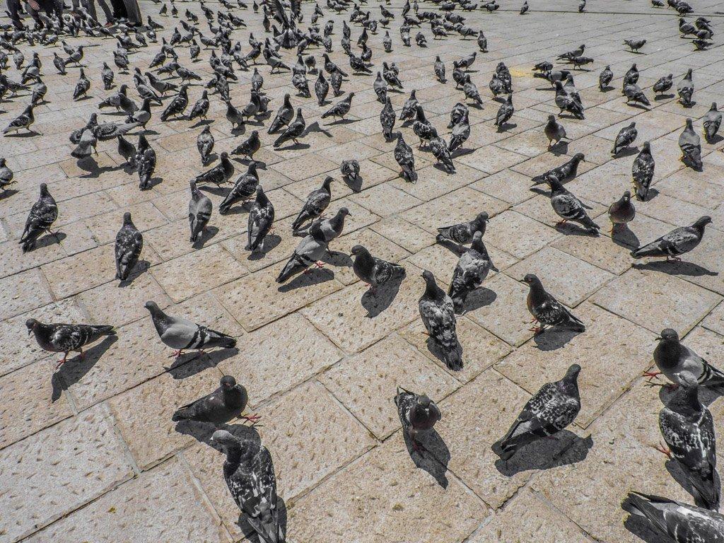 Pigeons in Sarajevo