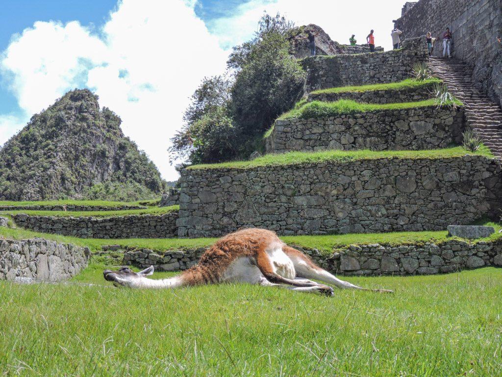 Machu Picchu llama lying down