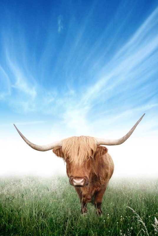 Highland cow, blue sky, green grass, Scotland