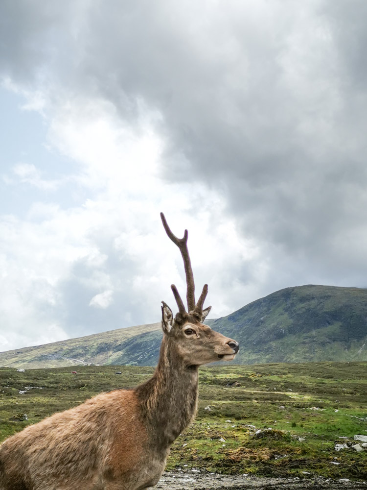 Deer with one antler Kingshouse Glencoe Scotland