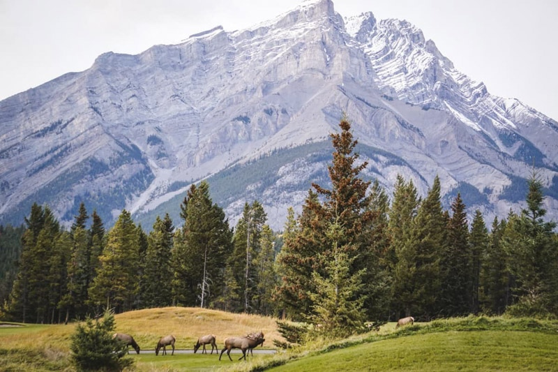 Elk Under Rundle Mountain Banff National Park Canada