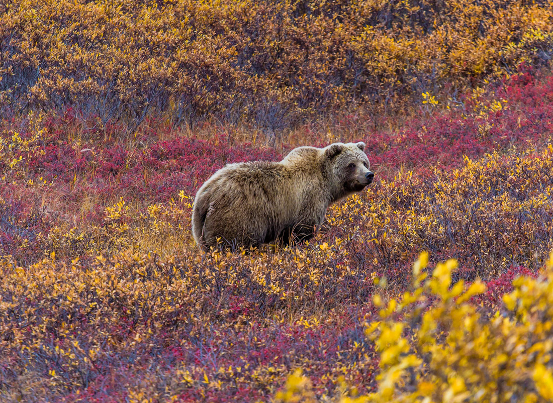 Denali National Park grizzly bear in a field